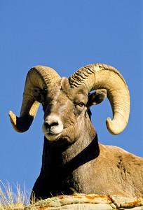 Bighorn Sheep-158