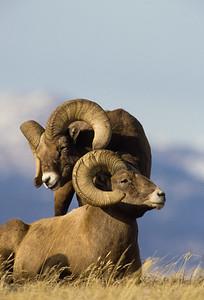 Bighorn Sheep-122