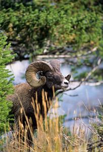 Bighorn Sheep-124