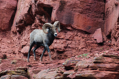 Bighorn Sheep-6797
