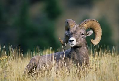 Bighorn Sheep-112