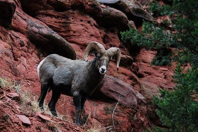Bighorn Sheep-2848