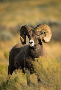 Bighorn Sheep-107