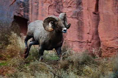 Bighorn Sheep-6719