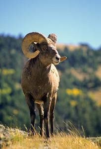 Bighorn Sheep-130