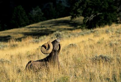 Bighorn Sheep-113