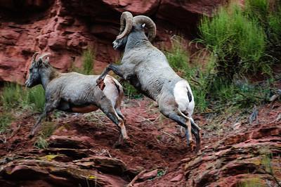 Bighorn Sheep-6724