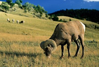Bighorn Sheep-127