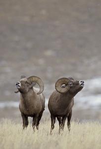 Bighorn Sheep-183