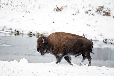 Yellowstone National Park.  Lamar Valley.