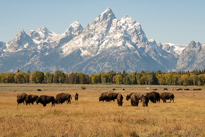 Bison and horses.