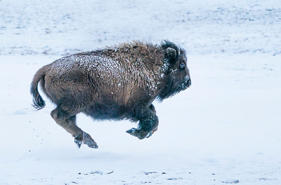 Baby Bison Calf Running Four Feet In The Air in Snowfall