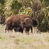 Bison with calf_SS91747