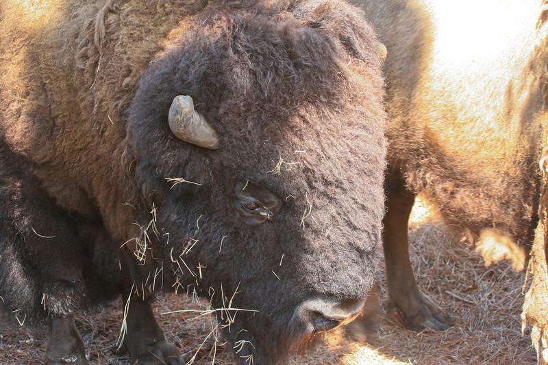 Buffalo_SS93169