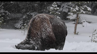 Bison Snow Plow in 4K