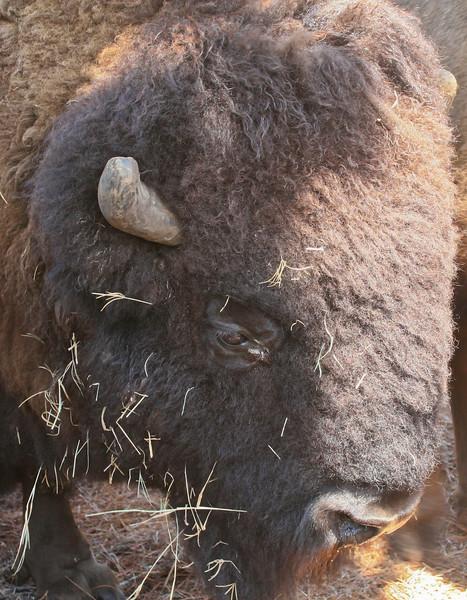 Buffalo_SS93169c