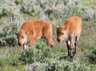 Bison Red Dogs