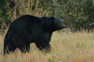 Black Bear-233