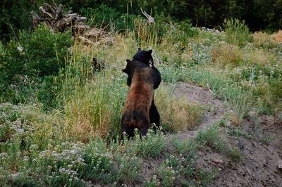 Black Bear-1898