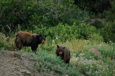 Black Bear-503