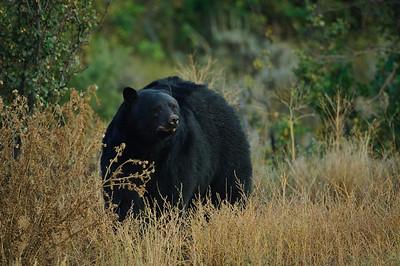 Black Bear-271