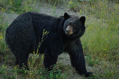 Black Bear-2227