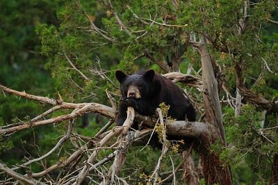 Black Bear-3667