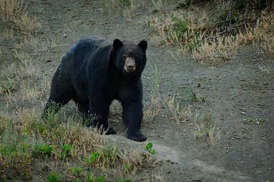 Black Bear-2201