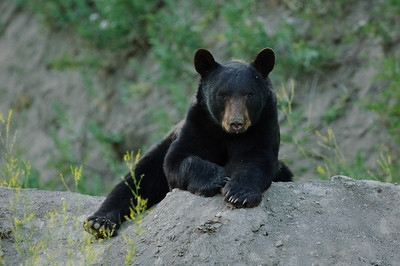 Black Bear-1639