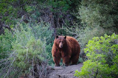 Black Bear-5593