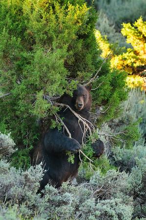 Black Bear-4335