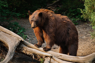 Black Bear-2602