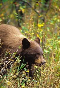 Black Bear-118