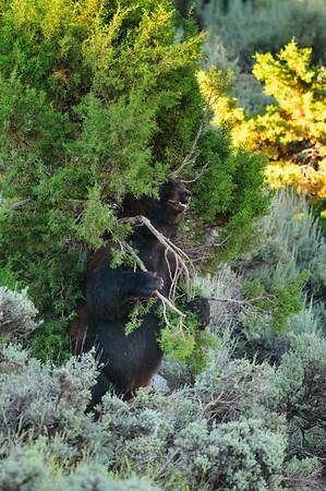 Black Bear-4333