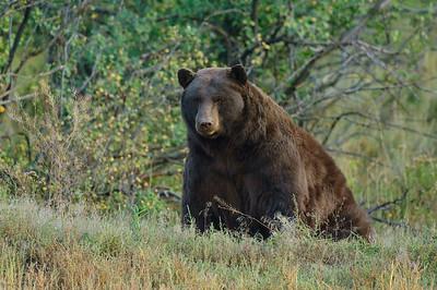 Black Bear-283