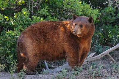 Black Bear-4758