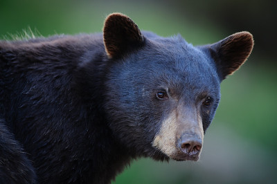 Black Bear-2991