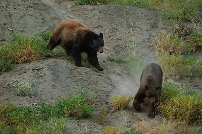 Black Bear-520
