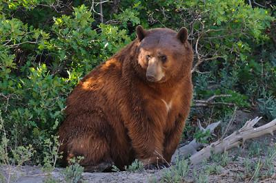 Black Bear-4763