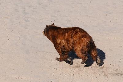 Black Bear-4544