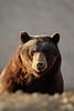 Black Bear-1948-3