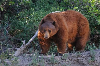 Black Bear-4798