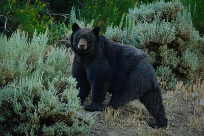 Black Bear-2255