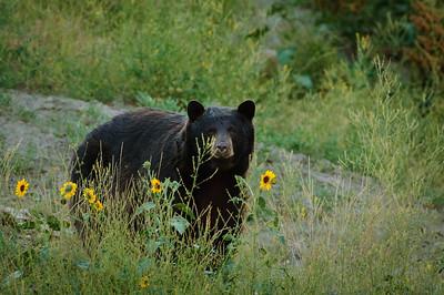 Black Bear-1458