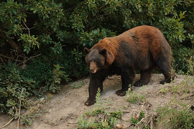 Black Bear-412