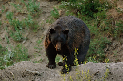 Black Bear-1109