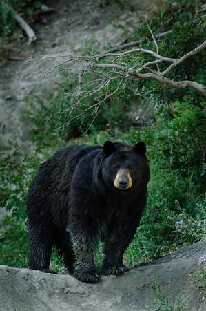 Black Bear-1875