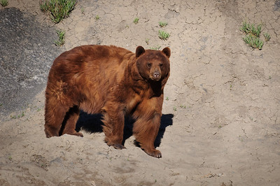 Black Bear-5333