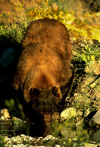 Black Bear-166