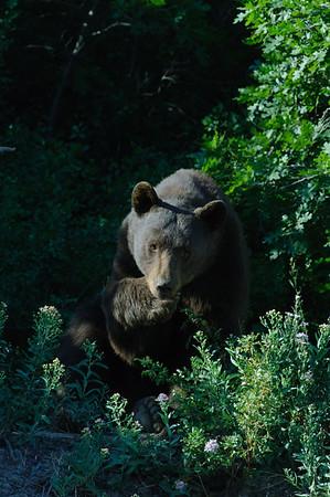 Black Bear-1276